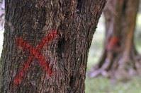Xylella, il Tar Lazio sospende taglio ulivi a Torchiarolo e Oria