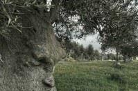 Il Salento saluta il Gigante di Alliste, a Ginosa spunta l'ulivo che riflette