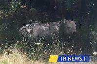 Un toro negli studi, caos a Telerama