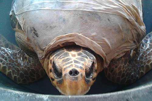 """Bisceglie, tre carapaci restituiti al mare nel """"Turtle Day"""""""