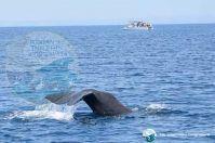 Taranto, mamma capodoglio a nuoto con i suoi cuccioli