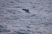 Marina di Serra, nel Salento si rivedono i delfini