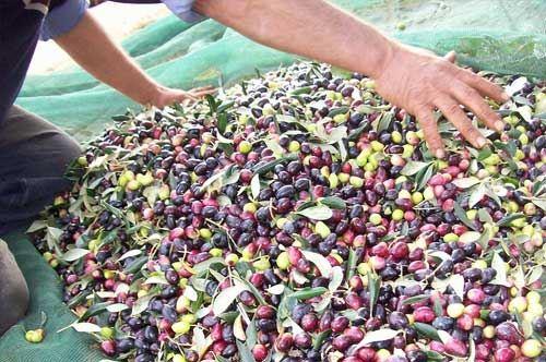 Ladri di olive sprovveduti, raccolto gratis per un agricoltore di Andria