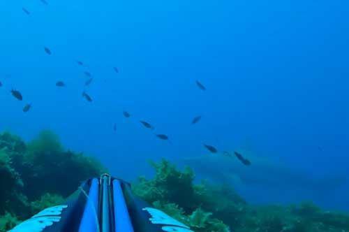 Uno squalo grigio nelle acque di Taranto. Guarda il video