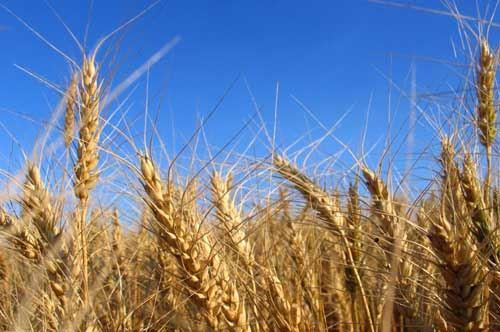 Tutela del grano, a Foggia una nuova realtà associativa