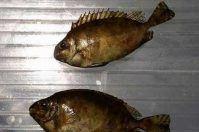 Pesce coniglio, primo avvistamento in Salento
