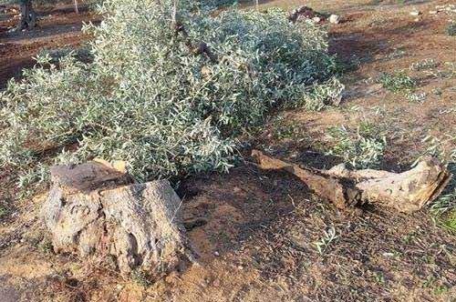 Strage di Ulivi a Santo Spirito: 40 quintali di olive in meno per la produzione pugliese