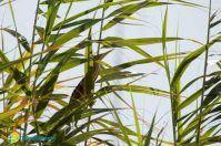L'uccello mimetico arriva tra le foglie di Torre Guaceto: le foto del Tarabusino