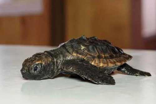 Baby tartarughe in salvo a Torre Guaceto: le foto
