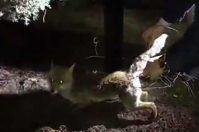 Era impigliata in un cavo di ferro, il video del salvataggio di una volpe a Corato