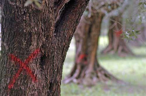 Xylella, altre 144 piante infette in Puglia