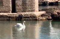 Un cigno nel mare di Santa Maria al Bagno: avvistamento in Salento