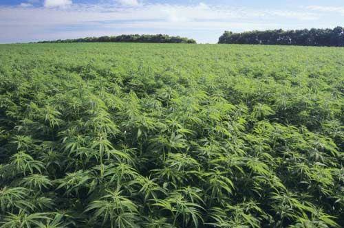 Coltivazione della canapa, in Puglia ecco 1.5 milioni di euro a sostegno