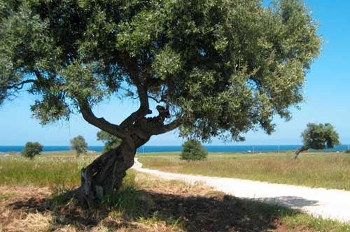 Rotazione degli ulivi in Puglia: curiosità sulla torsione delle piante secolari