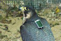 Parco dell'Alta Murgia, i falchi seguiti con il GPS per raccogliere dati