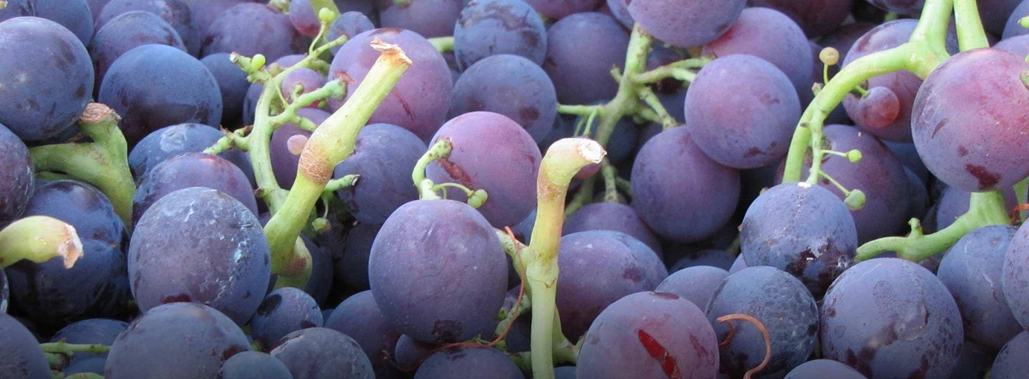 Guagnano: Sagra dell'Uva Cardinal e del Vino