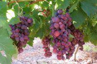 Sagra dell'Uva Cardinal e del Vino