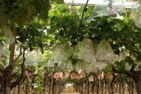 Sperimentato in Puglia Uva insacchettata, per prodotti più sani
