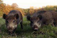 Regolamento per la caccia al cinghiale: approvato in regione Puglia