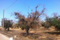 La Puglia stanzia 5 milioni di euro per prevenire e combattere la Xylella