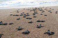 Nido di tartarughe marine scoperto da un bambino a Castellaneta Marina