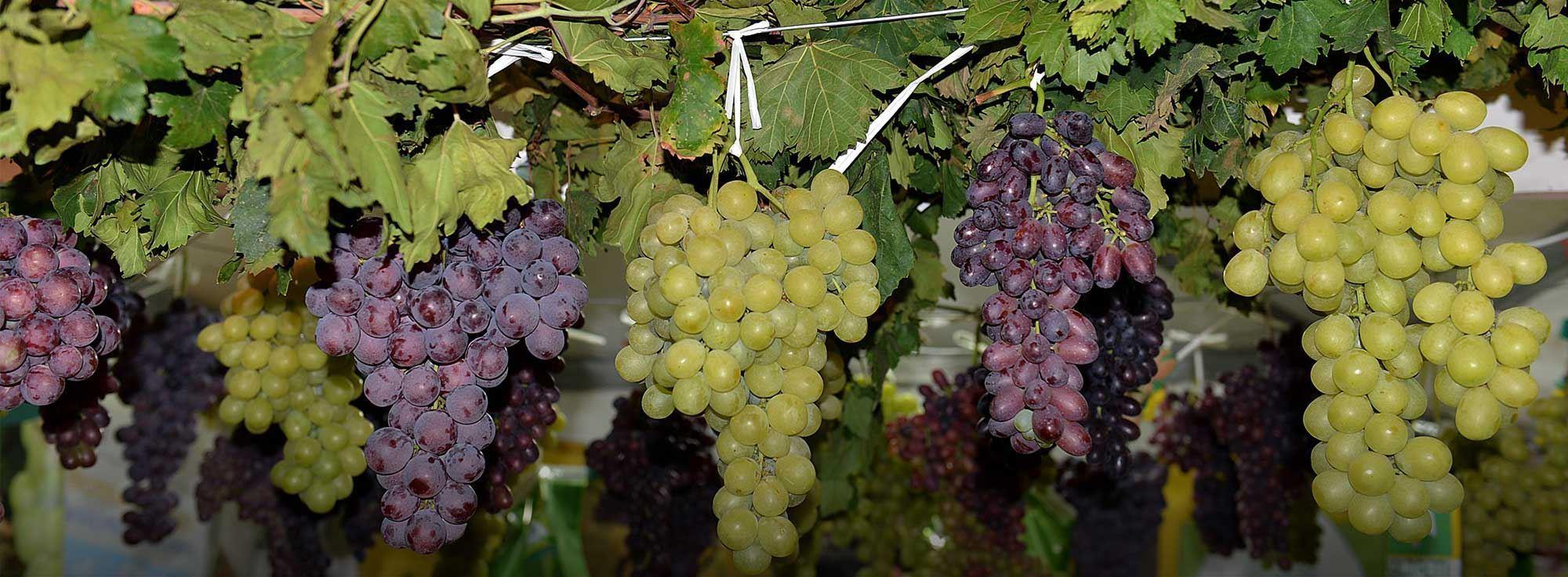 Rutigliano: 55^ Sagra dell'uva