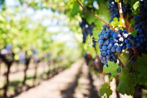 L'uva perfetta in Puglia, lo studio per chicchi grossi senza semi