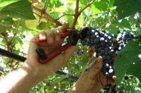 Coldiretti, anticipazione della vendemmia in Puglia per la siccità