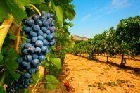 La vendemmia in Puglia, un periodo unico tra cultura e tradizione
