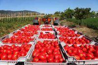 Pomodori precoci in Puglia, la raccolta ha chiuso in anticipo in Capitanata