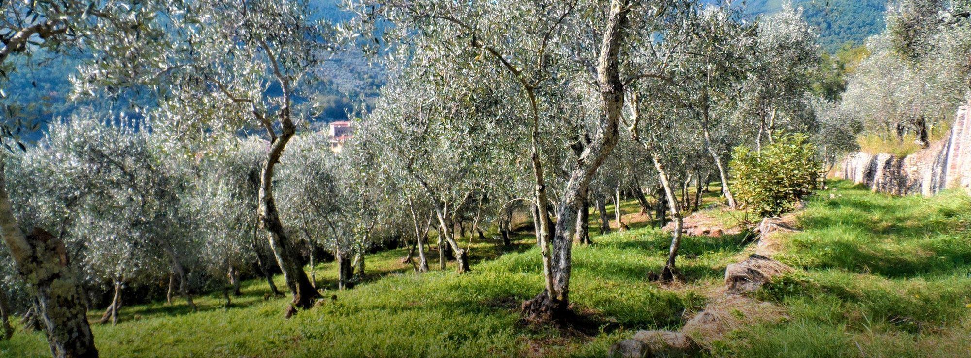 Caprarica di Lecce, Presicce, ...: Camminata tra gli olivi
