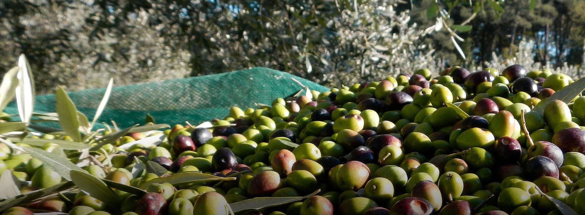 Raccolta delle olive tra ottobre e novembre la tradizione for Raccolta olive periodo