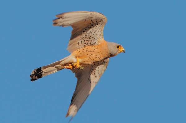 Un nido per il falco grillaio nel borgo di Casamassima con la Lipu