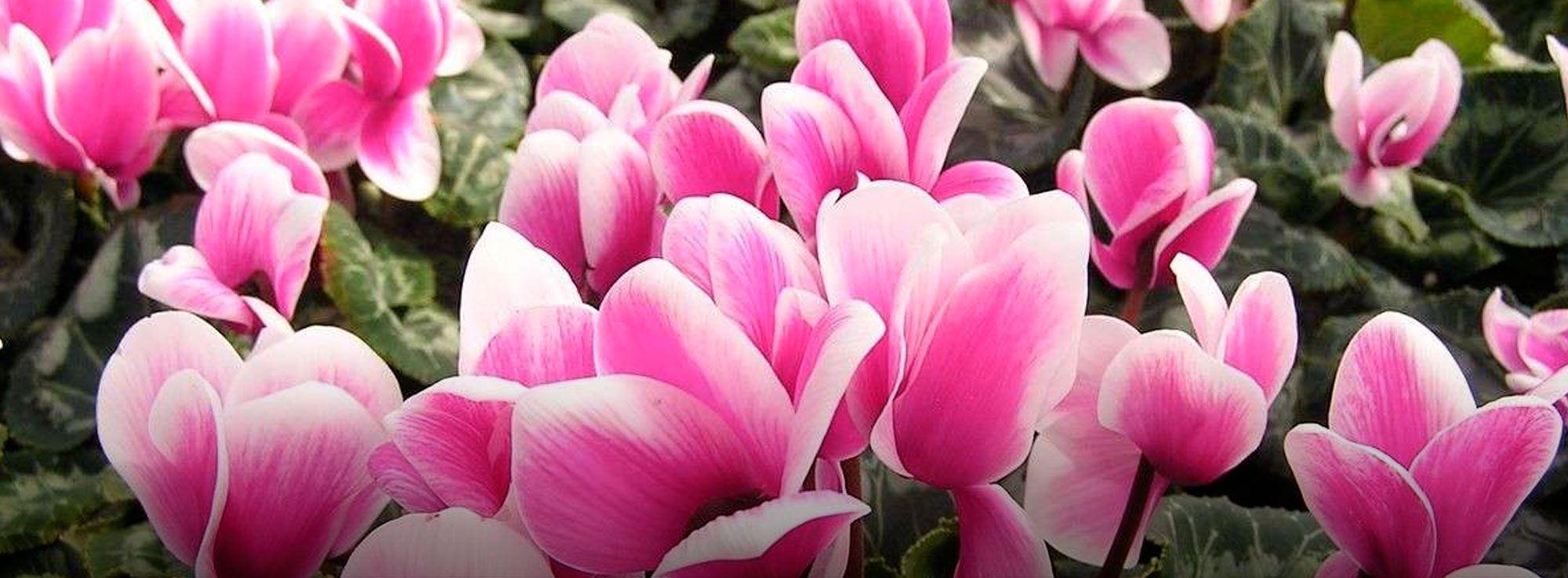 Bari: Requiem des fleurs