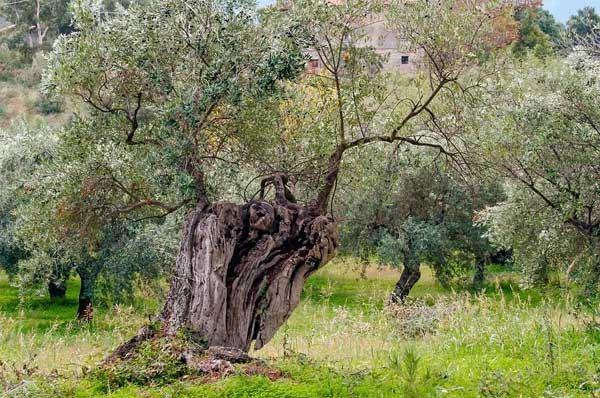 Xylella, al via misure straordinarie in Puglia con dispositivi diagnostici