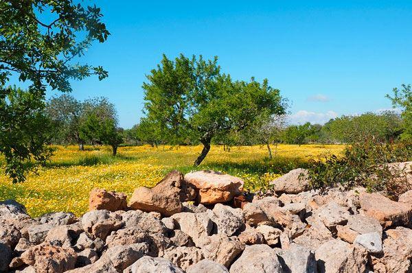 Xylella in Puglia, è allarme diffusione per l'arrivo della primavera
