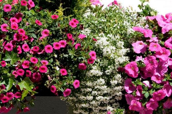 Orsara in Fiore