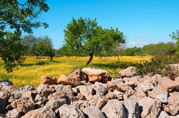 L'uliveto che resiste alla xylella, a Casarano piantumati 3mila ulivi
