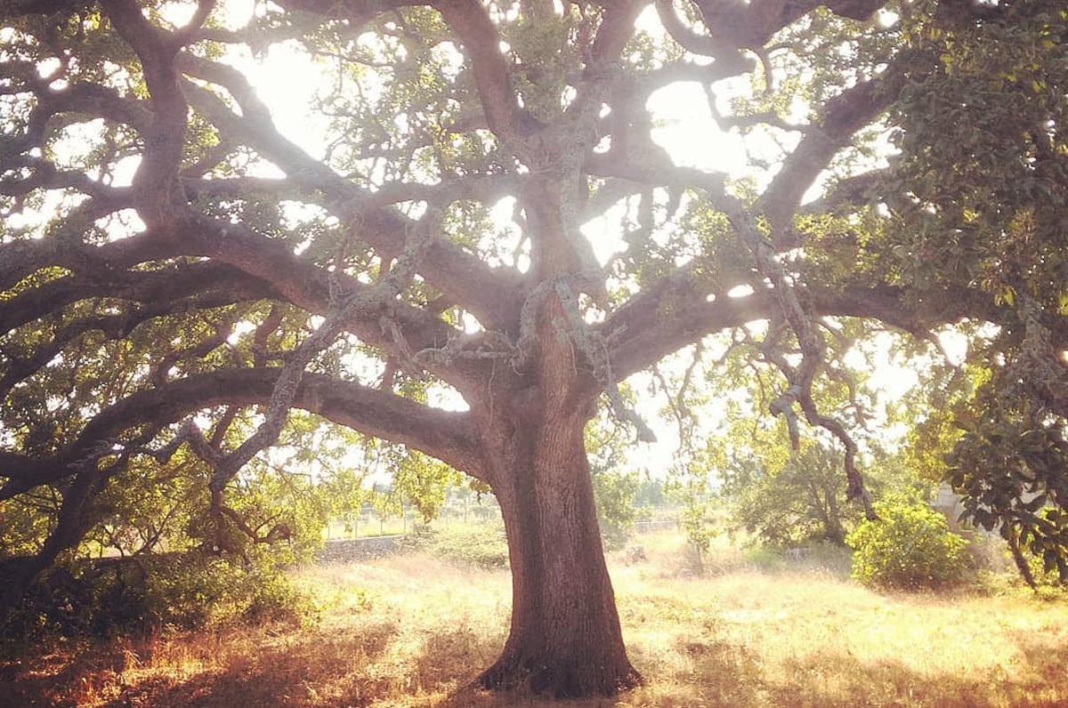 Quercia Vallonea di Tricase, l'albero e il monumento più antico della Puglia