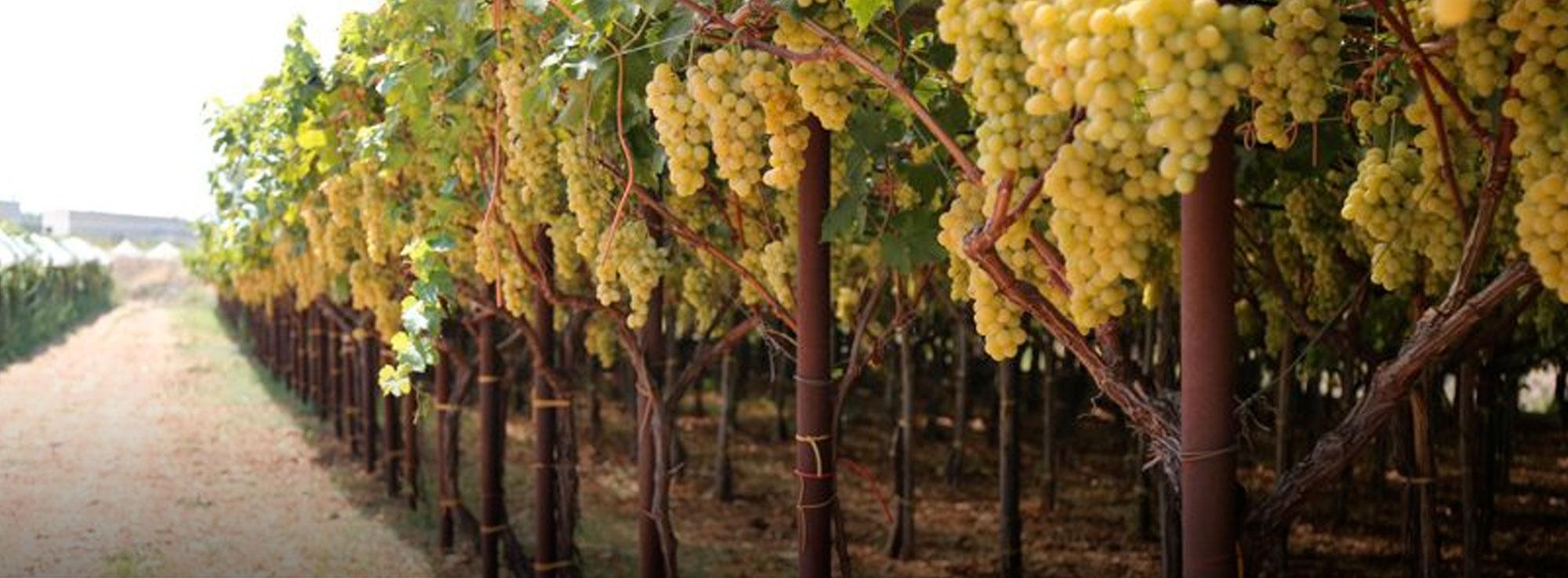 Fasano: La via dell'uva
