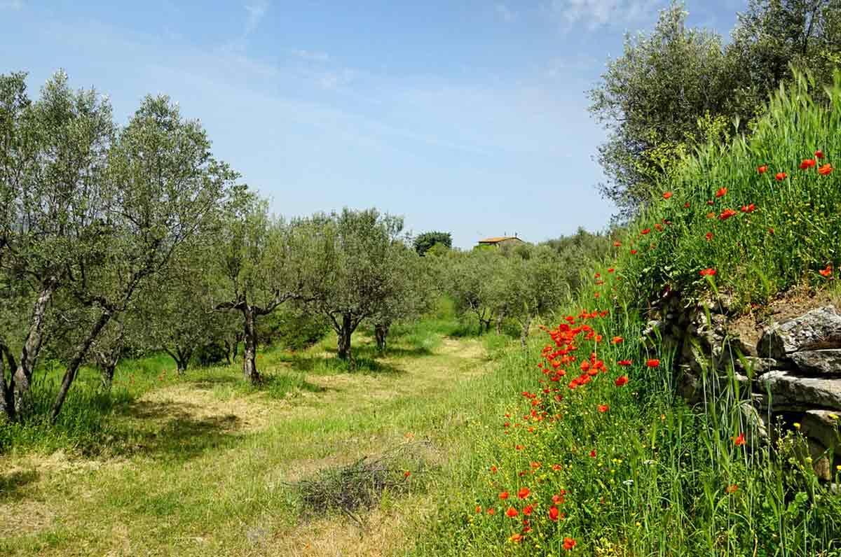 Xylella rimborsi: un milione di euro per gli olivicoltori danneggiati