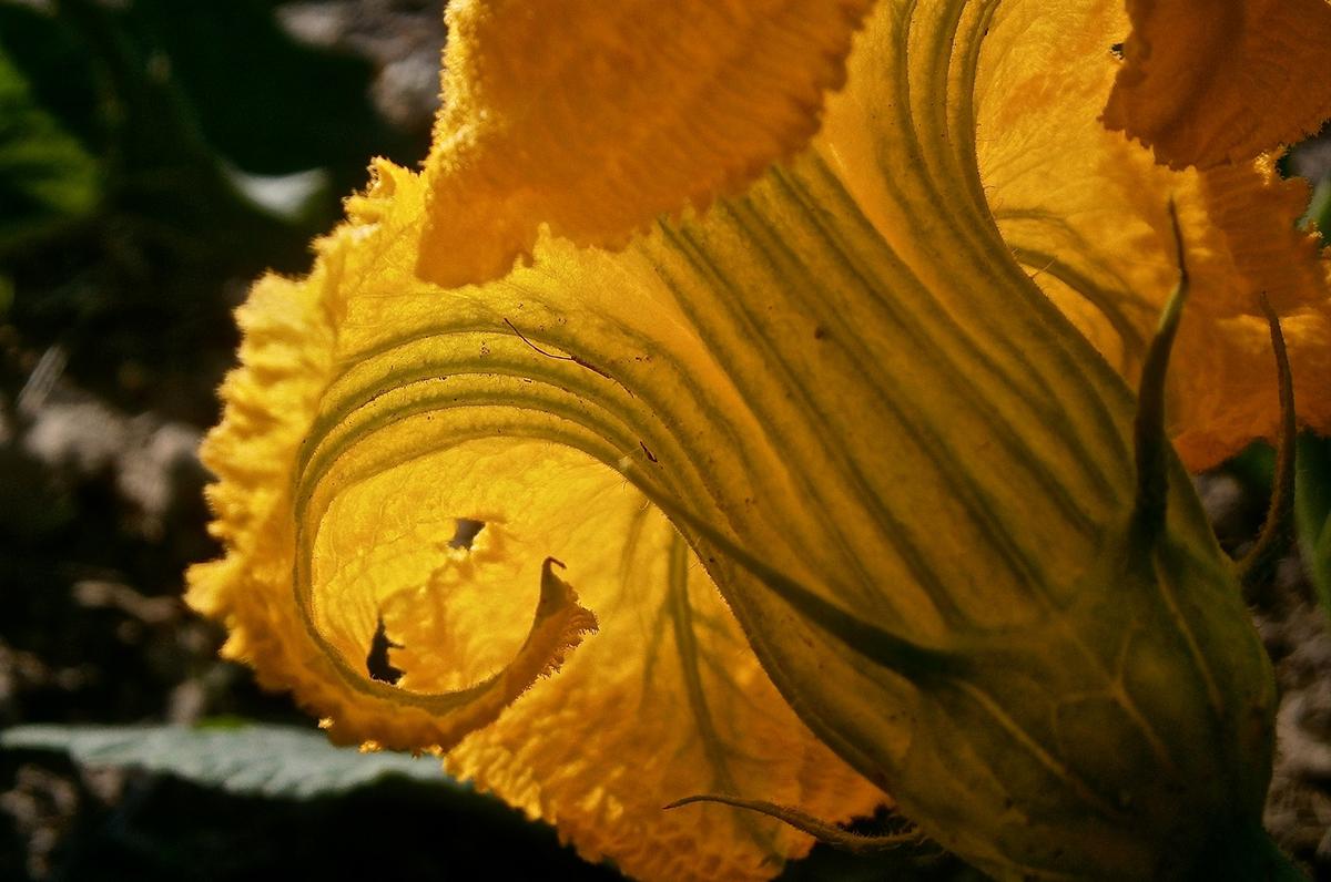Fiori di zucca ripieni di stracciatella pugliese