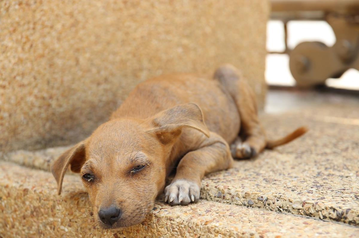 Cani randagi, a San Severo tanti progetti per la loro salvaguardia