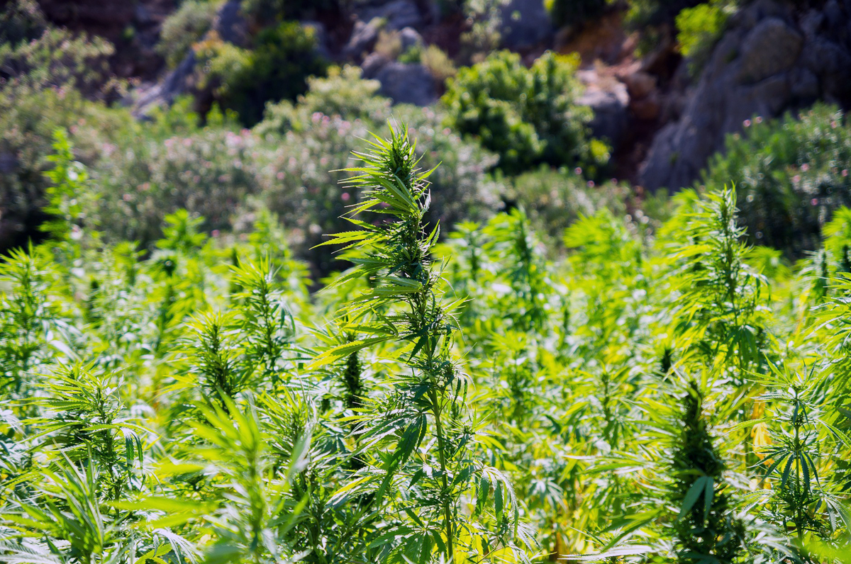 Canapa, una coltivazione che vede la Puglia tra i protagonisti nazionali