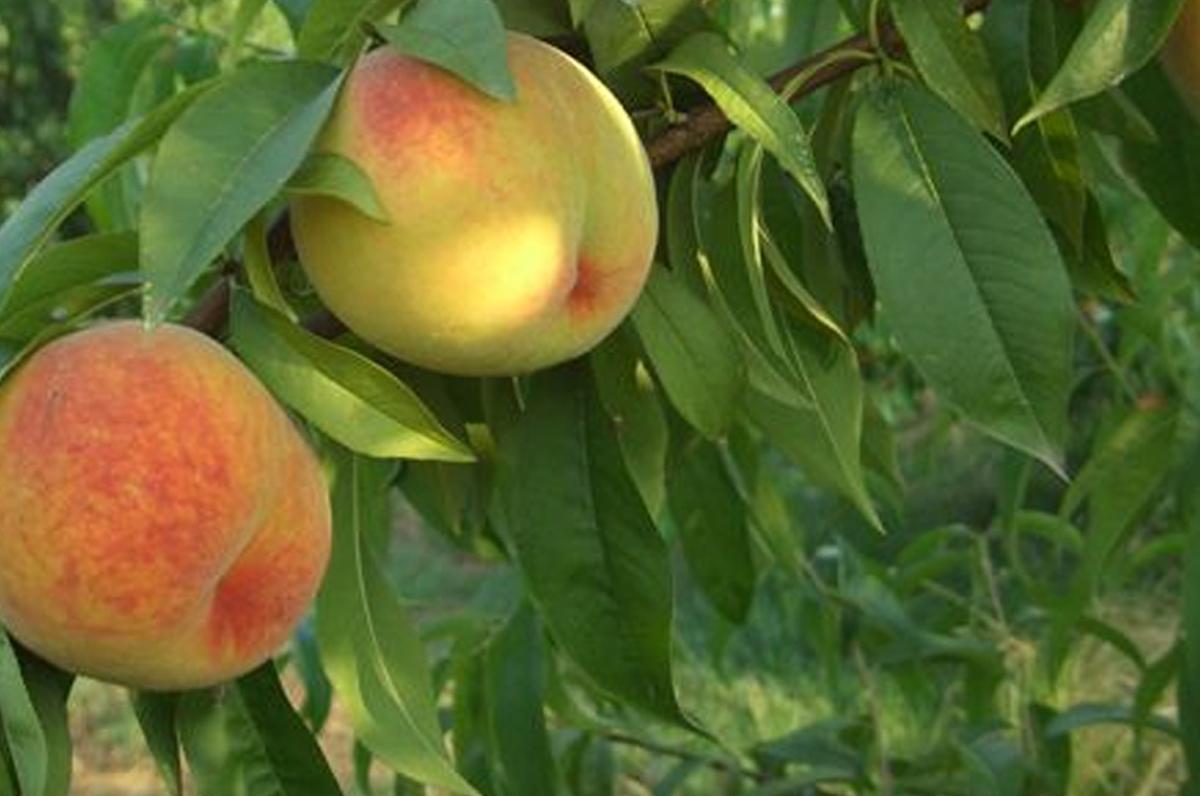 Percoca di Loconia, frutto dal sapore unico made in Puglia