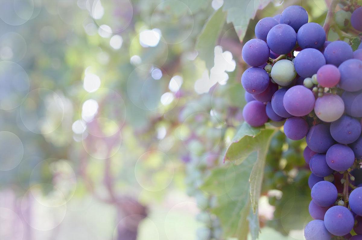 Festa dell'uva e del vino locale