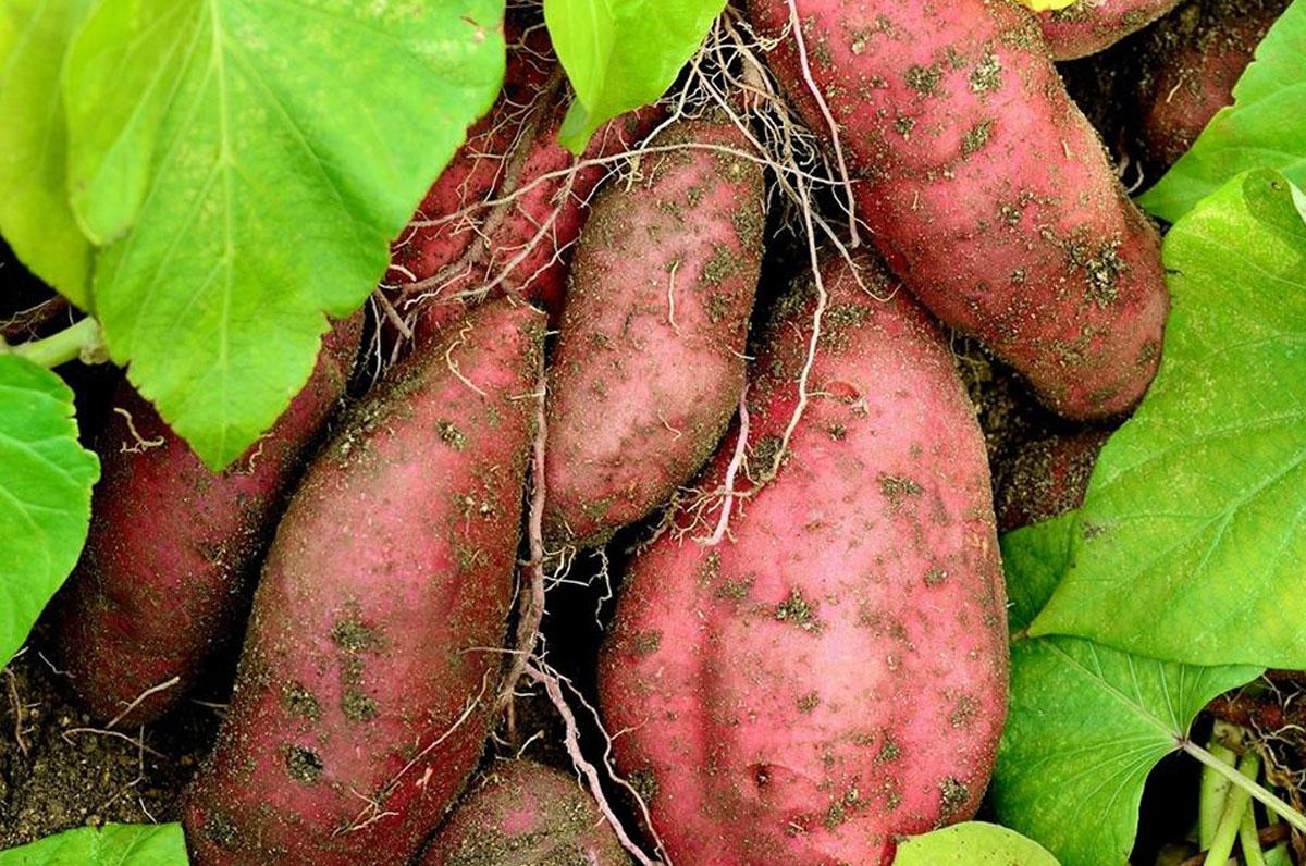 Sagra della patata zuccherina
