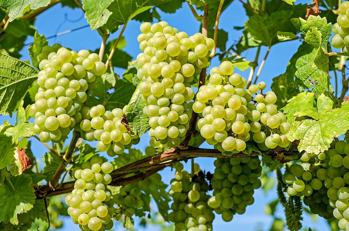 Vendemmia in Puglia: produzione in aumento del +3%