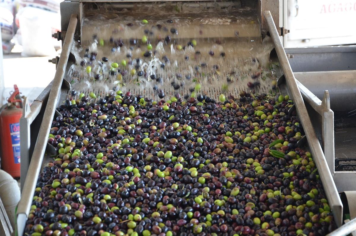 Produzione olio d'oliva, la Puglia prima in tutta Italia