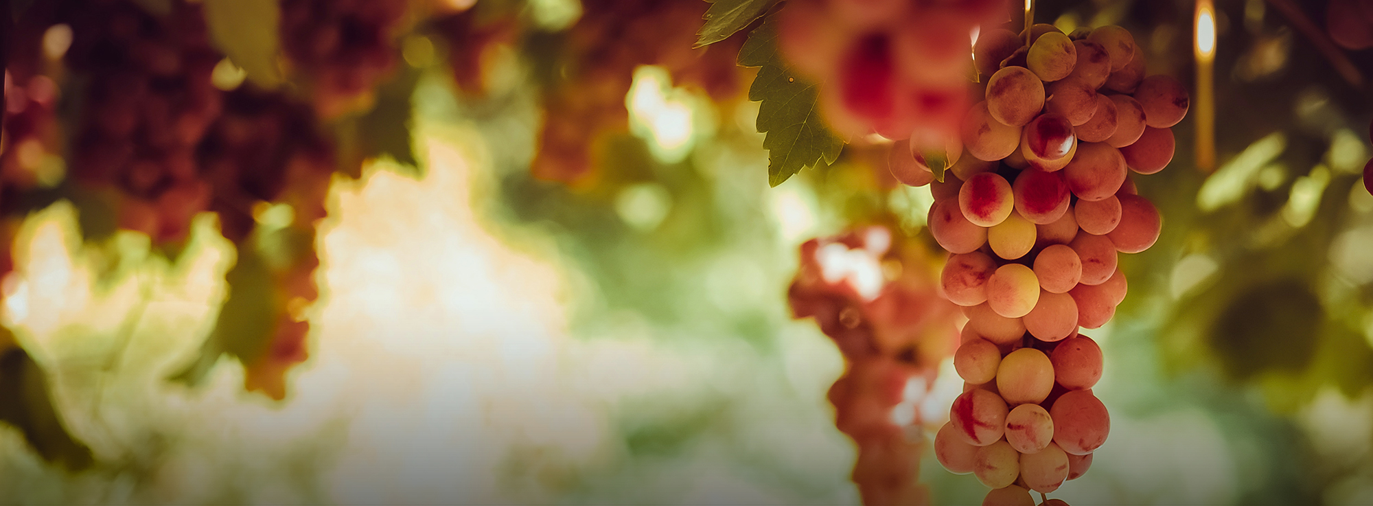 Carapelle, Ordona, Orta Nova, Stornara e Stornarella: Pellegrini del Vino